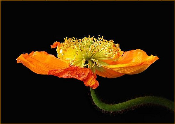 coquelicot ouvert
