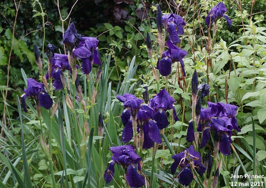 Iris ordinaires