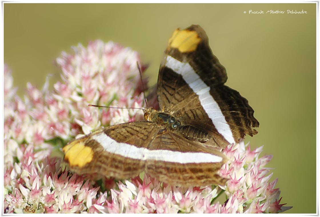 Adelpha fessonia - Nymphalidae