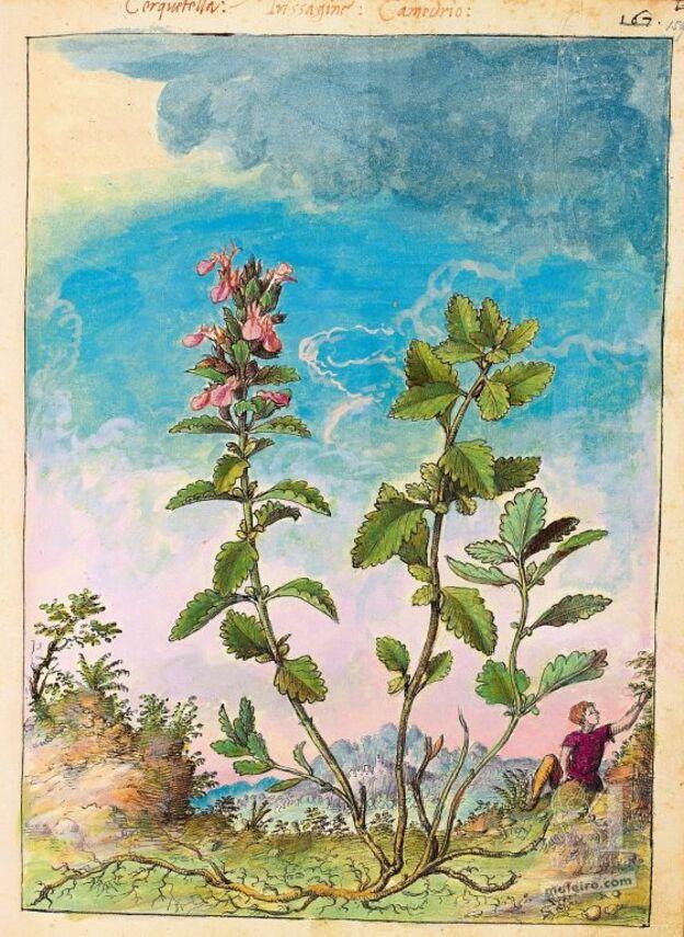 Dioscoride de Cibo et Mattioli Germandrée petit-chêne (Teucrium chamaedrys), f. 159r