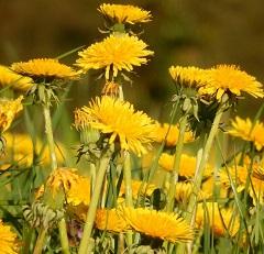 Pissenlit fleur