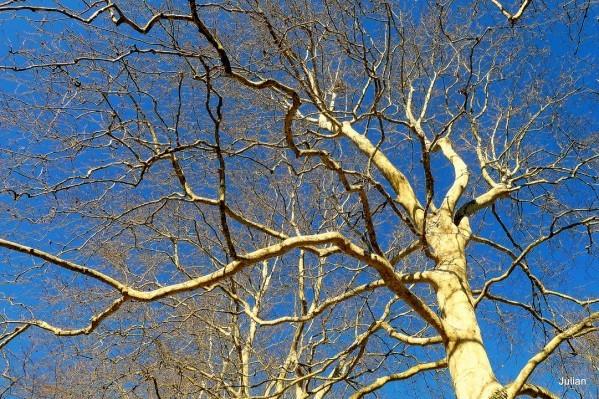 S01--Branches-de-platane.JPG