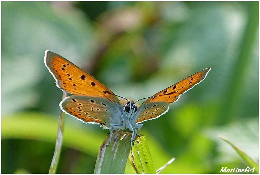 Insecte 05 cuivré des marais P1000592a