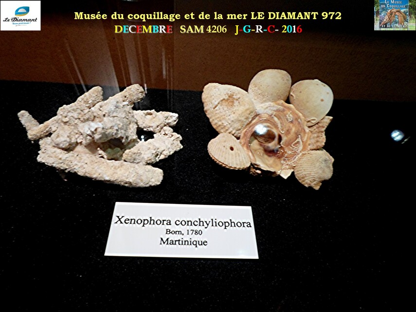 Le monde des coquillages de mer   5/5  15/    LE DIAMANT MARTINIQUE       D    15/04/2018
