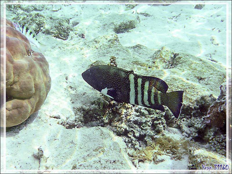 Mérou paon ou Mérou céleste ou Vieille cuisinière, Peacock hind or Peacock grouper (Cephalopholis argus) - Jardin de corail - Motu Tautau - Taha'a - Polynésie française