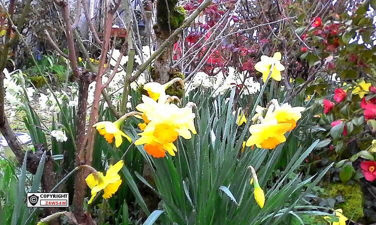2017 mon jardin au début du printemps ,les narcisses fleurissent les une après les autres
