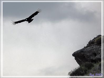 Condors sur le chemin vers Torres del Paine - Punta Arenas - Patagonie - Chili