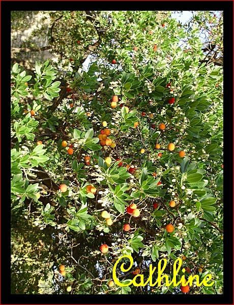 arbousier cath
