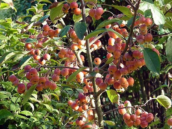 Pommes ornement 02