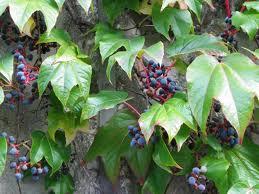 Lierre grimpant fruits
