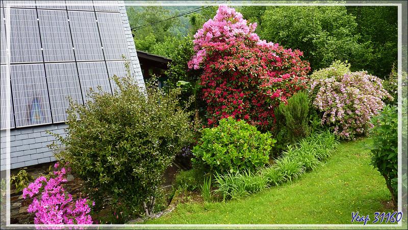 Rhodos et Azalées : c'est encore leur période de floraison bien qu'elle tire sur la fin - Lartigau - Milhas - 31