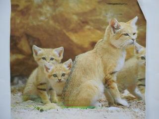 """Exposé sur le """"chat des sables"""""""