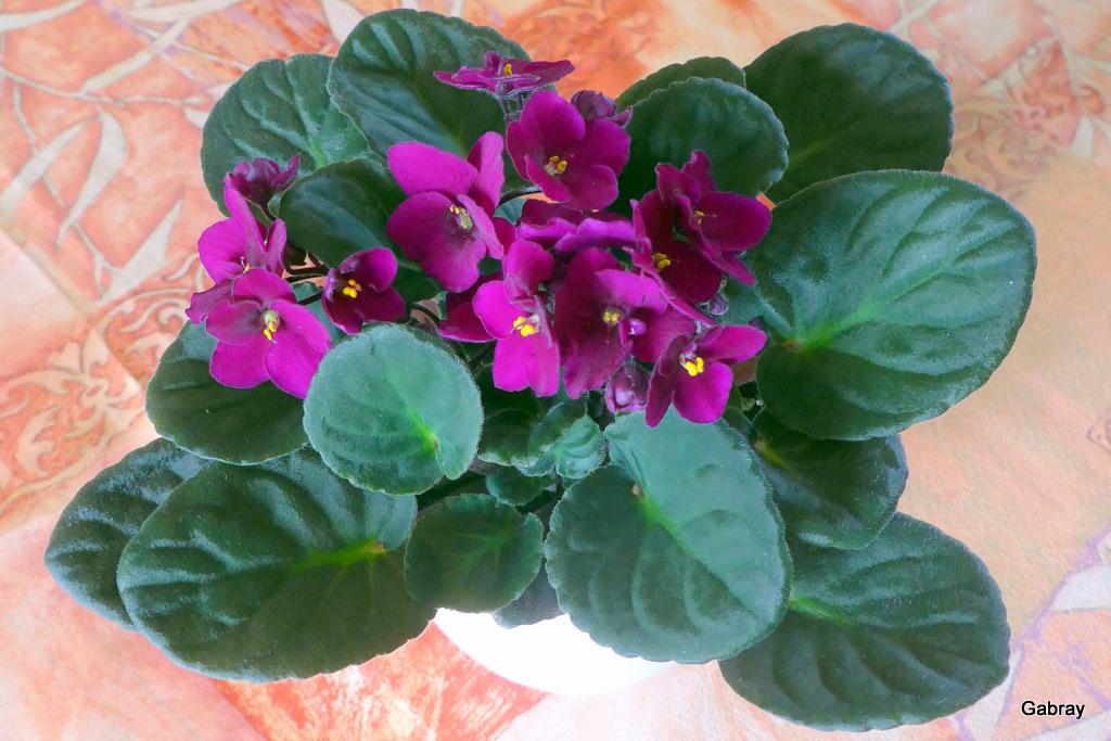 la violette fleur