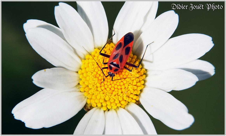 Punaise Calocoris Nemoralis