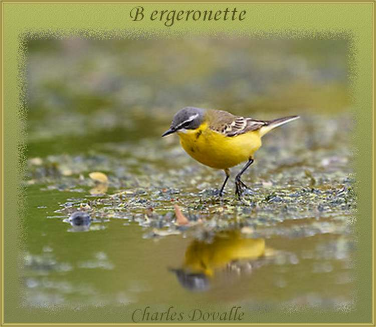 """"""" Bergeronnette """"  poème de Charles Dovalle"""