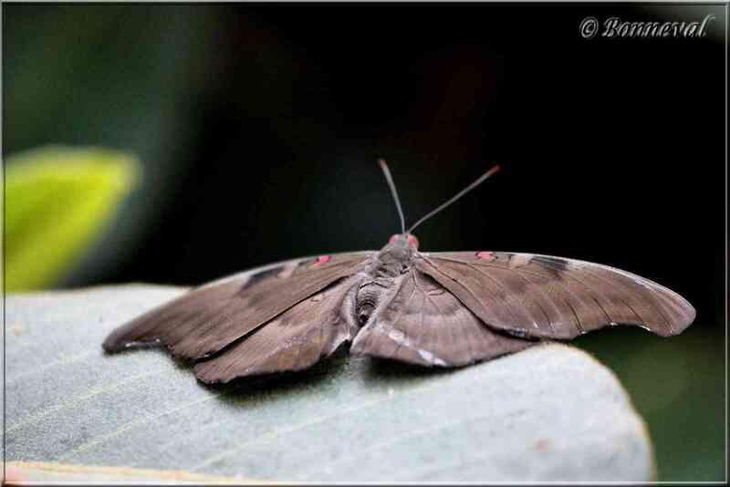 Papillons tropicaux Dophla evelina derma