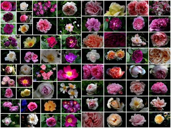 roses-picasa2.jpg