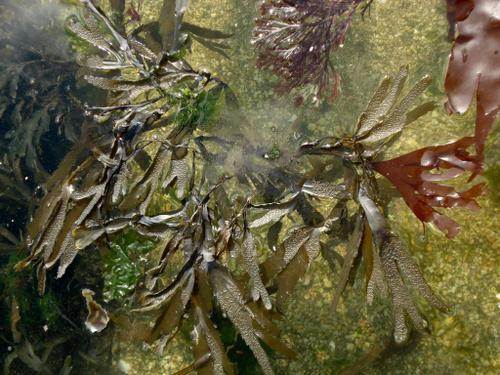 algues-brunes-flottent.JPG