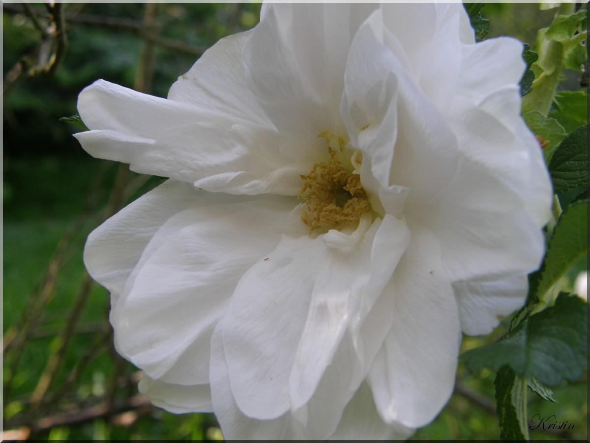 Le club des cinq: les roses  parfumées