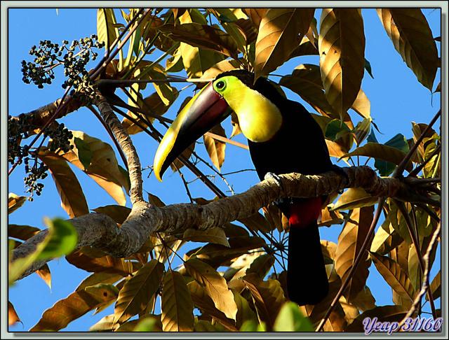 Blog de images-du-pays-des-ours : Images du Pays des Ours (et d'ailleurs ...), Toucan à carène, Keel-billed Toucan (Ramphastos sulfuratus) - Dominical - Costa Rica