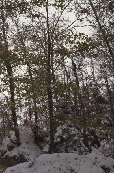 hêtres sous la neige