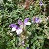 Scutellaire des Alpes (Scutellaria alpina) Couloir sous la Hourquette de Bachebirou