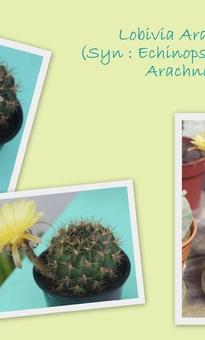 Lobivia Arachnacantha ou Echinopsis Ancistrophora Arachnacantha