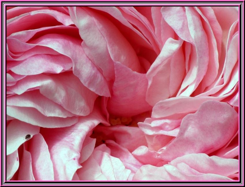 Léclosion d'une rose