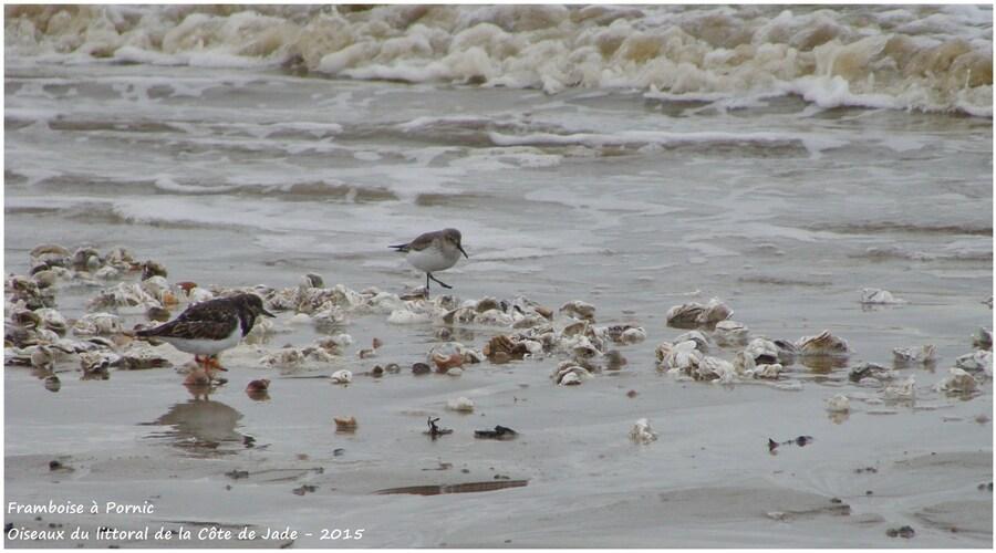 Les limicoles sur la côte de Jade - Bécasseau variable, tournepierre à collier