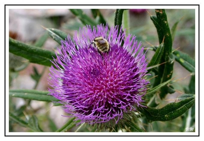 Le chardon et l'abeille