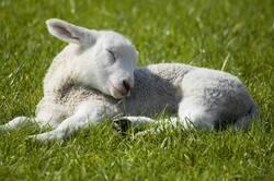 Epargnez la vie de tous les agneaux du monde