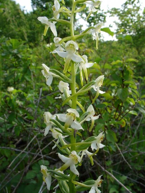 Les Orchidées Sauvages