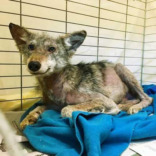 (-*♥*-) Un coyote grelottant et blessé ne peut arrêter de sourire lorsque les secouristes lui sauvent la vie.Un coyote grelottant et blessé ne peut arrêter de sourire lorsque les secouristes lui
