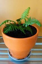 cyathea deabalta - ponga ou fougère argentée