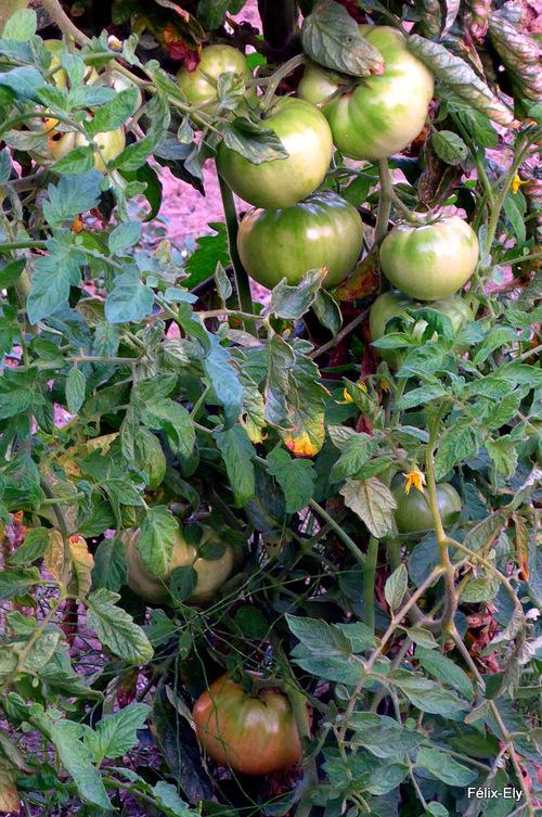Des poivrons et des tomates !