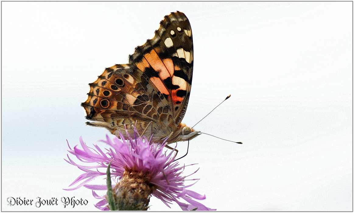 Belle Dame / Vanessa cardui