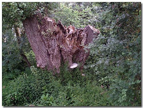 Vieil arbre 4
