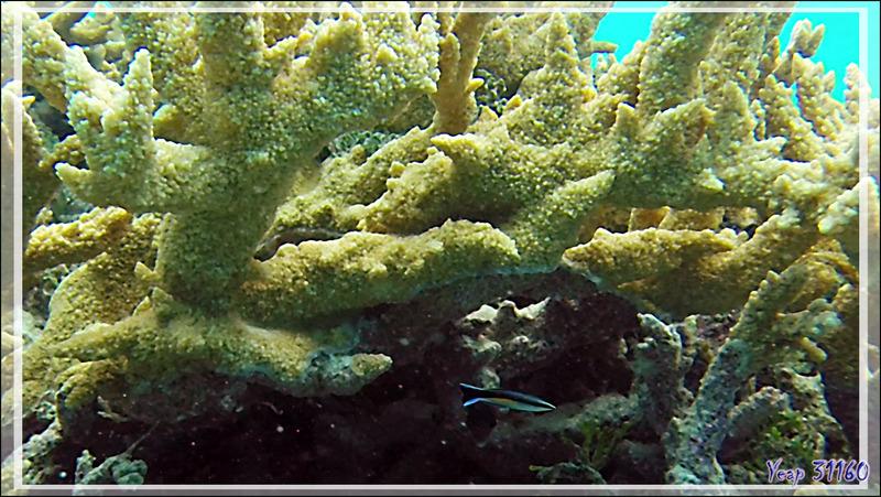 Le minuscule Labre nettoyeur commun  ou Labre barbier commun, Common cleanerfish or Bluestreak cleanerwrasse (Labroides dimidiatus) - Passe Tumakohua - Fakarava sud - Tuamotu - Polynésie française