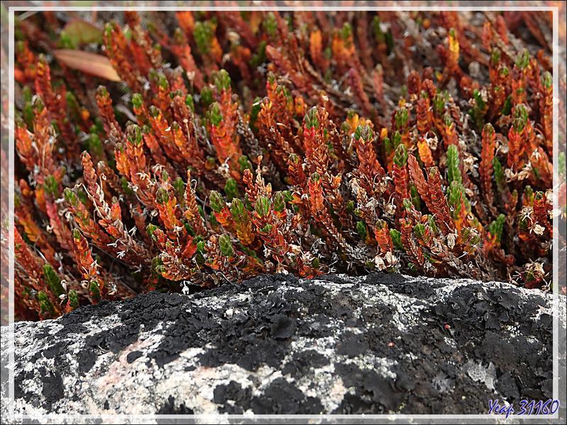 Tétragone aux couleurs d'automne et petites fleurs de Céraiste - Fjord Bowdoin - Région de Qaanaaq - Groenland