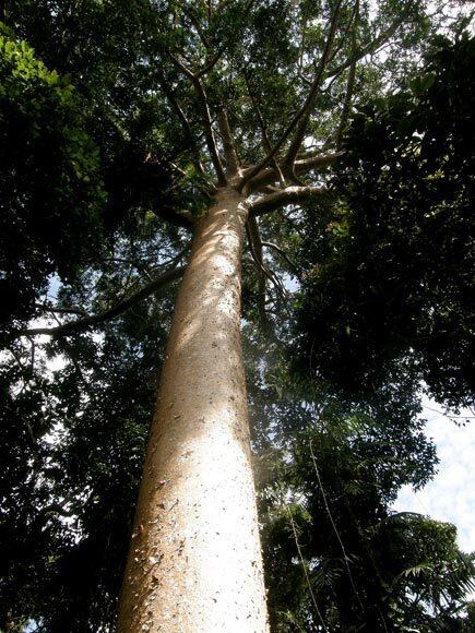 Kauri de Nouvelle-Zélande