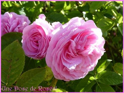dernier jour de Mai, beaucoup de roses et c'est bien!