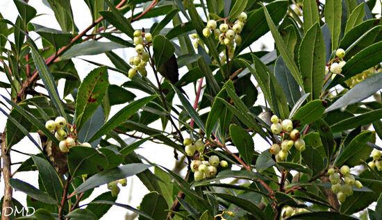 Arbutus unedo - arbousier