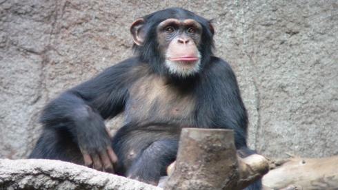 Chimpanzé solitaire
