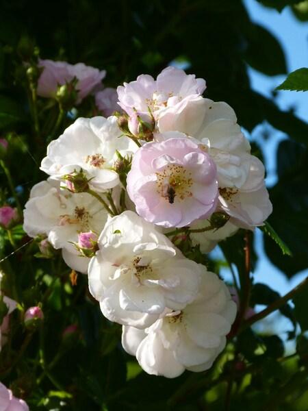 Perennial's Blush