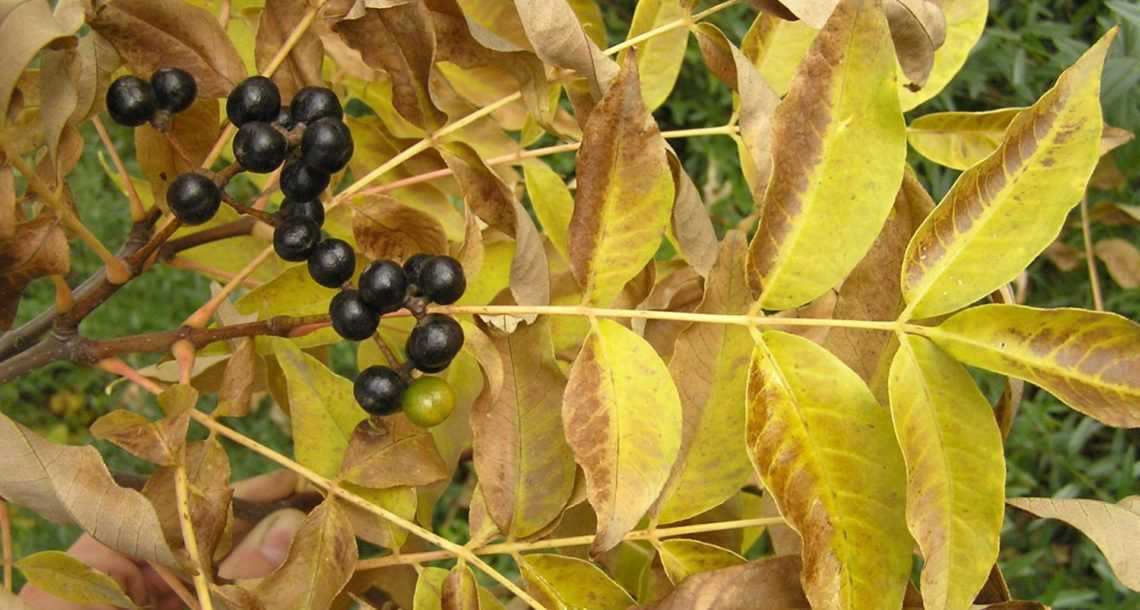 Ягоды бархатного дерева при сахарном диабете