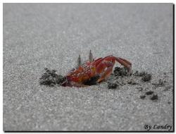 Un crabe rouge