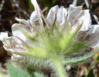 Lotus hirsutus = Dorycnium hirsutum  -  pied de coq