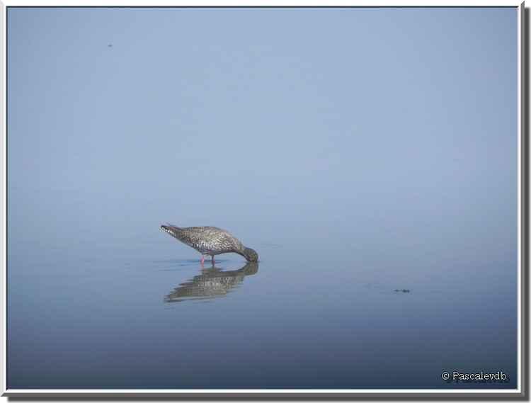 Parc ornithologique du Teich - chevalier gambette