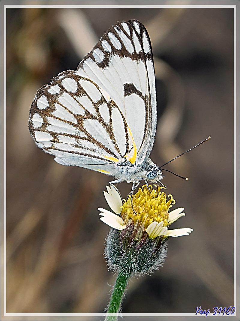 Papillon Pioneer white, African caper white (Belenois aurota) version saison sèche - Victoria Falls - Zimbabwe