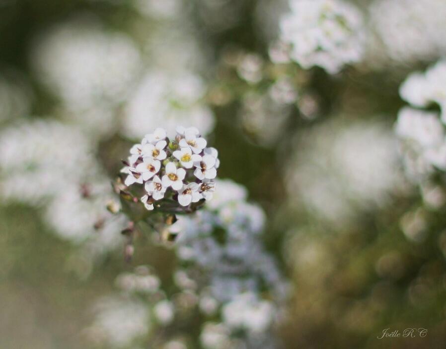 Alyssum blanc